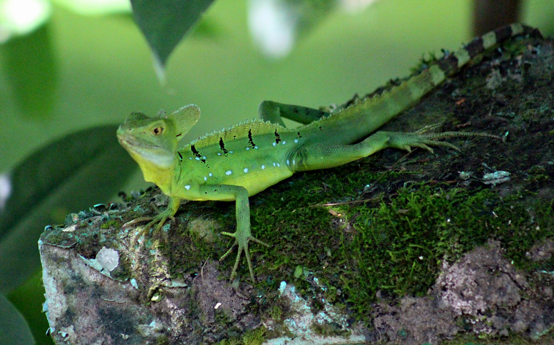 Emerald Basilisk (or Green Basilisk)