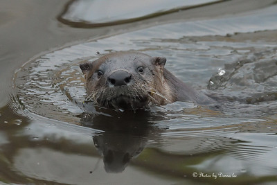 Otter spotted me