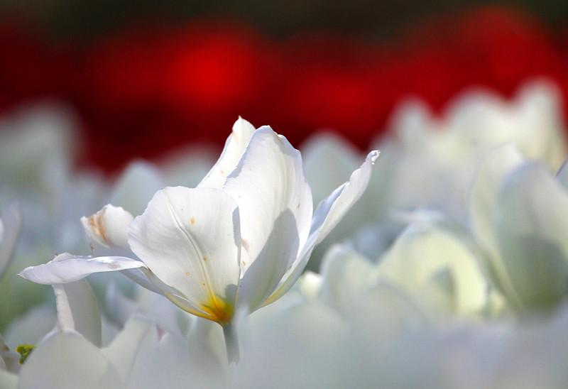 Spring Tulips - Garvan Woodland Gardens