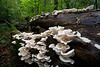 Oyster Mushrooms - Ouachita National Forest - Arkansas - Fall 2020