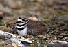 Killdeer - Ouachitas of Arkansas - March 30, 2017