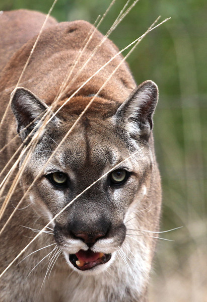 Mountain Lion - Ouachitas of Arkansas