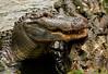 Arkansas Aligator