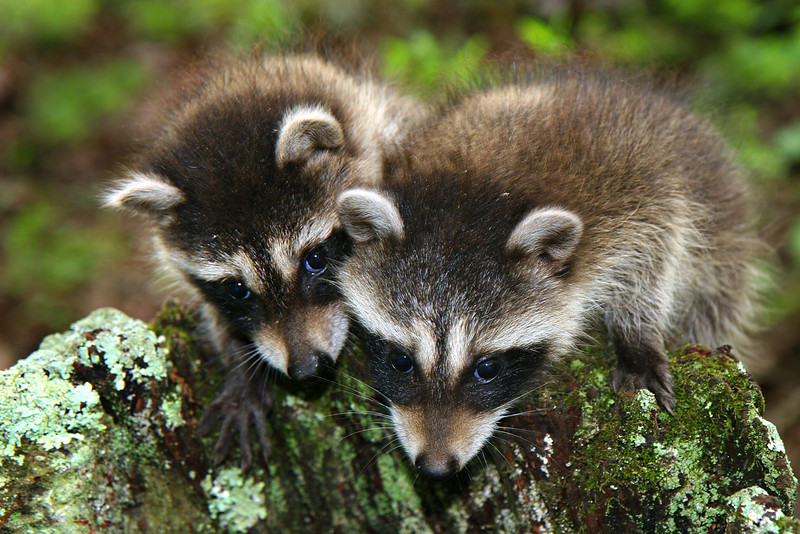 Pair of Baby Racoons - Ouachitas of Arkansas