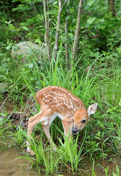 Bambi - Ouachita National Forest