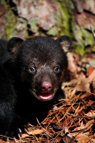Baby Black Bear - Ouachita National Forest