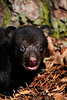 Baby Black Bear - Ouachita National Forest