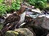 Red Tail Hawk - Ouachitas of Arkansas - Ouachita River