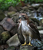 Red Tail Hawk - Ouachitas of Arkansas