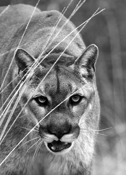 Mountain Lion - Ouachitas of Arkansas