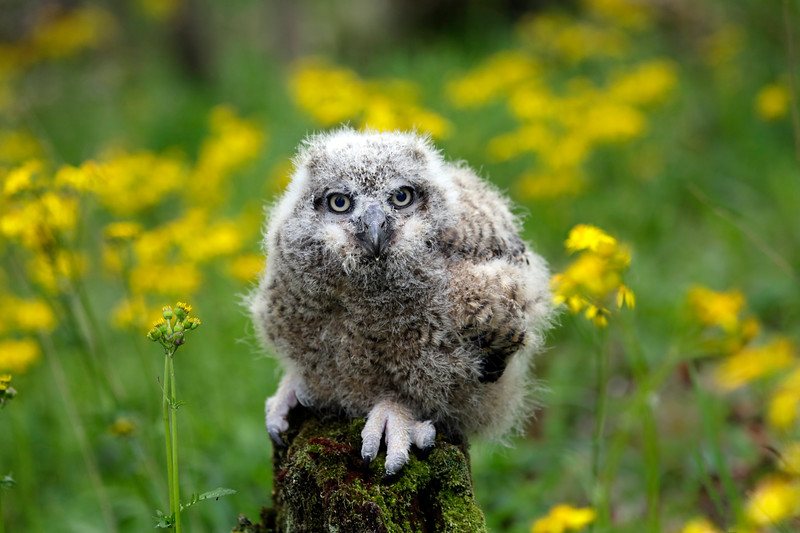 Great Horned Owl  Fledgling - Ouachitas of Arkansas