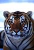 Tristen - Bengal Tiger