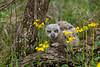 Great Horned Owl  Fledgling - Ouachitas of Arkansas