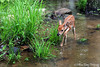 Baby Fawn - Ouachita River