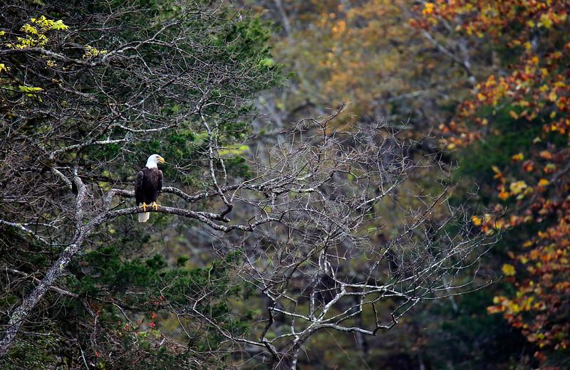 American Bald Eagle - Blanchard Springs Cavern  on Mirror Lake - Fall 2016