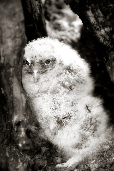 Owlets - Baby Great Horn Owls