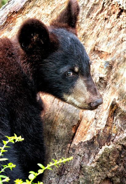 Baby Blackbear - Ouachitas of Arkansas