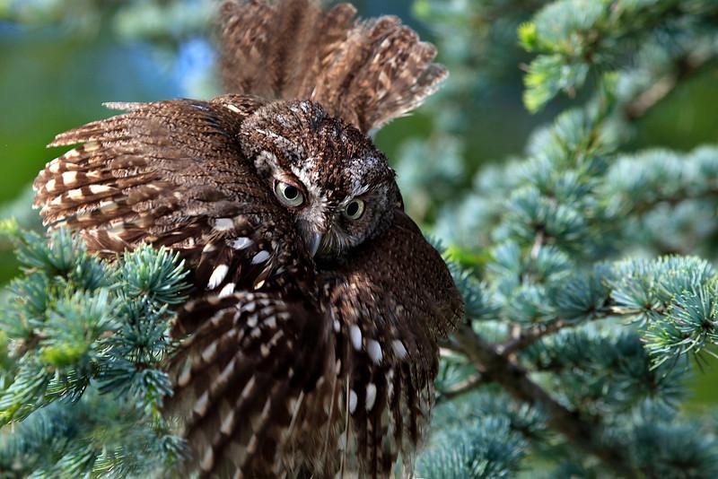 Screech Owl - Fixing to take Flight.