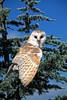 Barn Owl - Ouachitas of Arkansas