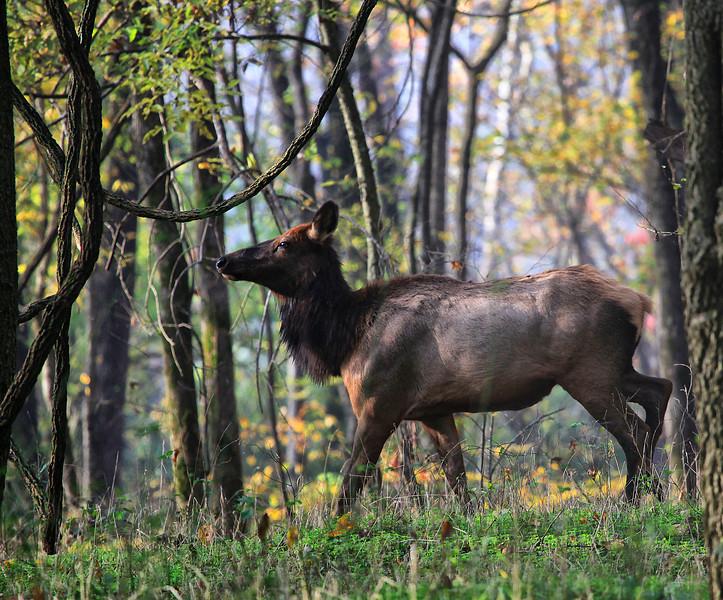 Momma Elk - Buffalo National River