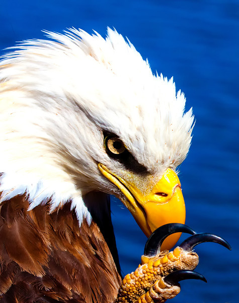 American Eagle - Lake Ouachita