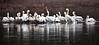 American White Pelicans - Arkansas