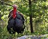 Arkansas Wild Turkey - Ouachitas of Arkansas