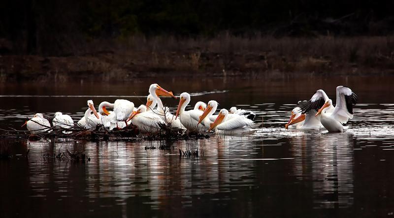 American White Pelicans - Mena Lake - Mena, Arkansas - March 29, 2013