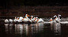 American White Pelicans - Mena Lake - Mena, Arkansas - March 29, 2013