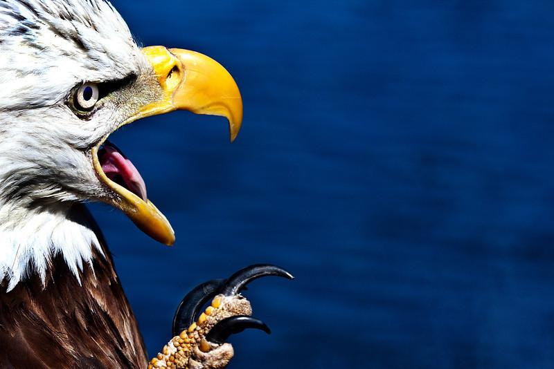 American Eagle - Lake Ouachita