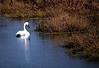 Trumpeter Swan - Ozarks