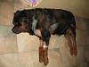 IMG_1117.JPG <br /> Bomber hurt his leg, was taken to the VET.