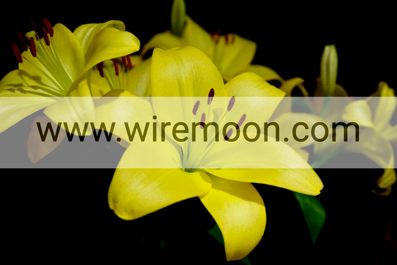 Asiatic Lilium Gironde.