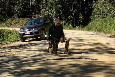 I want you to imagine you're motoring along Dalrymple Rd on Eungella Range, driving to a certain birding spot. All along the way there are branches and vines strewn on the road, courtesy of TC Debbie. Suddenly, you realize that the branch on the road, only a few metres in front, is no branch. It is a python of a reasonable size, right in the way of the car. Thank heavens for fast reflexes, ABS braking system and very strong seat belts. With nothing to spare, the python and us two were still in one piece, unharmed. That was one lucky critter ! We got out quickly, before a car came upon us from either direction, took a shot or two and then tried to move this sun-loving snake off the road before it turned into another road kill statistic. But no matter how hard we tried, this thing would not budge. It kept snapping at us menacingly. Some twenty odd years ago an old-timer told me to be very wary of being bitten by a python. According to him, they have a lot of very bad bacteria in their mouth because of the food they eat and if they bite you, one could end up with a very nasty infection. We were in no mood to test his theory to see whether he was just winding me up or actually telling the truth. Things were getting desperate as it was only a matter of time before a car turned up, out of the blind corner behind us. We did not want to see the python killed nor us two ending up as Dalrymple Pizza Supreme. Then, finally, between Marlis' monopod and a long stout stick that I found nearby, we hit the jackpot. This thing relented and moved off the road, albeit with no great enthusiasm, to say the least, only to finally disappear down the bank into tall grass, much to our relief. Eungella has always provided a surprise or two, usually with feathers, not being covered in scales !