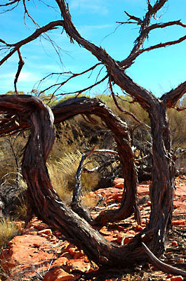 Spiral Tree<br /> Kings Canyon, Northern Territory
