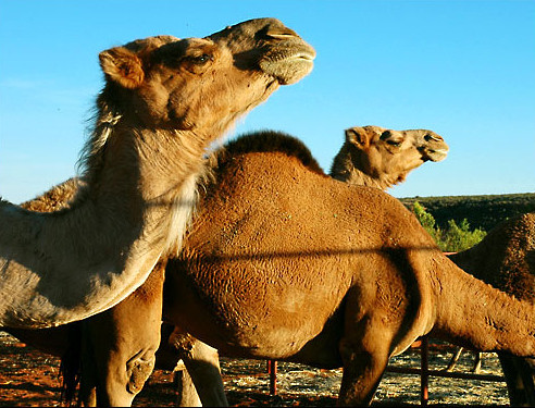 Camels<br /> Northern Territory