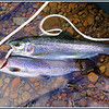 Trillium Lake Rainbow Trout