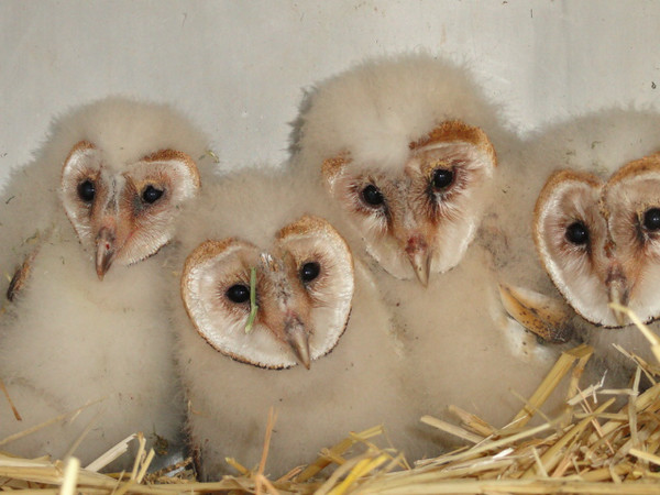 Four Stowaway Barn Owlets Rescued & Hydrated