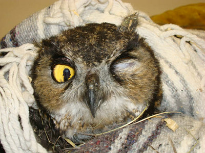 Great Horn Owl Rescued From Fire