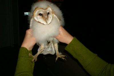 Fallen Barn Owl Injured Rescue