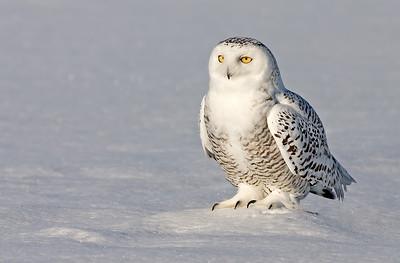 z_3_2005_a_snowy-owl_12000752446_o
