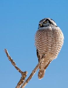 hawk-owl-40d-090228-1908-define_13655477324_o