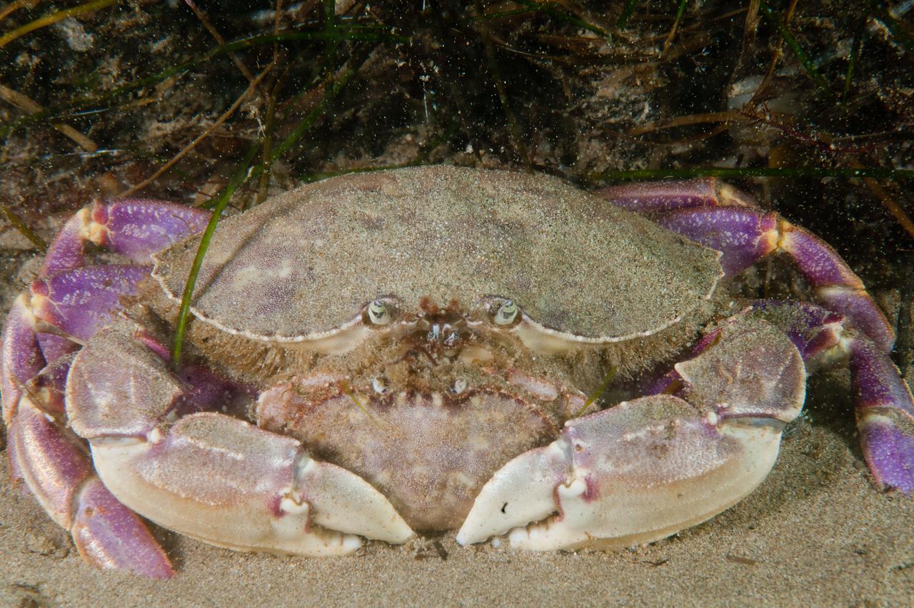 Mating crabs
