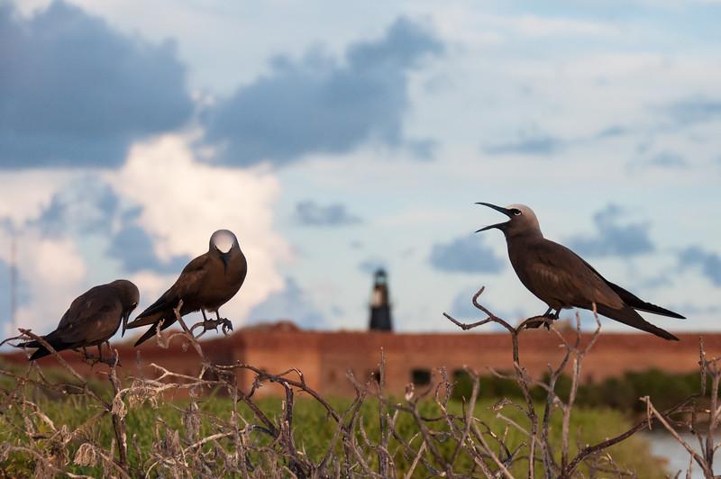 Brown Noddies in front of Fort Jefferson, Bush Key.