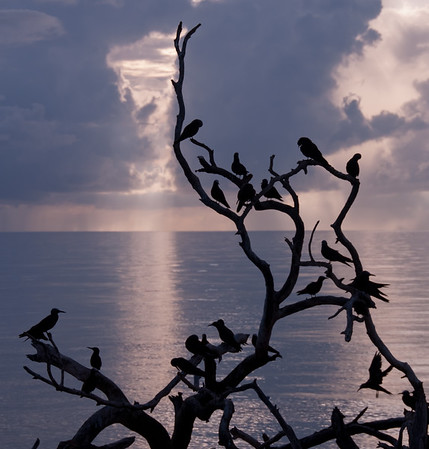 Noddies in silhouette against the morning sky, Bush Key in Dry Tortugas National Park, FL.