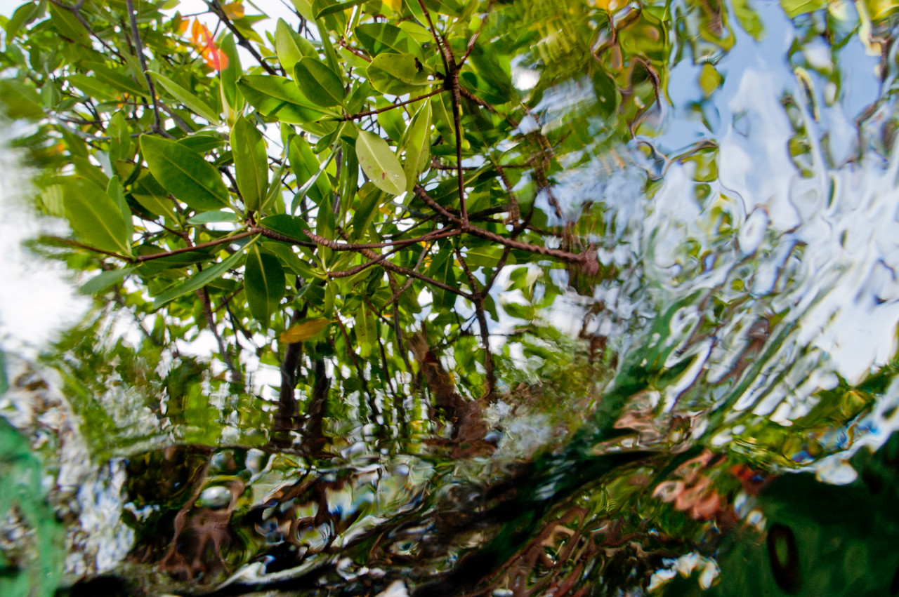 Mangroves from just below the surface in Biscayne National Park.