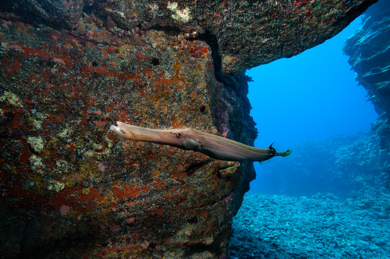 A trumptefish at the entrance to a cave off the Kona coast.