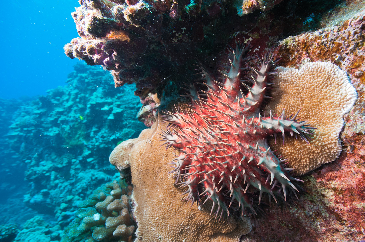 The crown-of-thorns seastar is a vocracious predator that feeds on hard corals, Kona, HI.