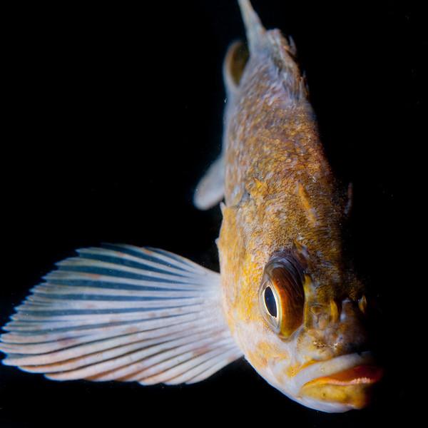 A Kelp Rockfish (Sebastes atrovirens) in Channel Islands National Park, CA.