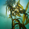 Looking up into the kelp canopy in the Channel Islands.